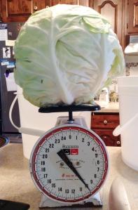 Whoa! 10 pound cabbage!