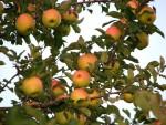 Beautiful Honey Crisp apples!